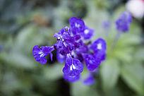 蓝色的鼠尾草