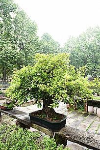 盆景种植工艺