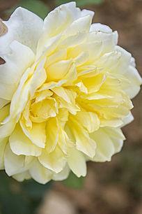 一朵黄色的月季花