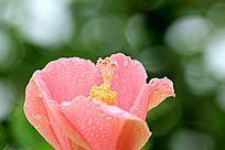 扶桑花卉背景