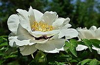 花色迷人的芍药花