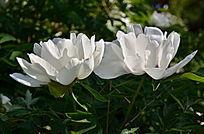 娇美的白色芍药花