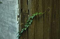 爬在木门上的植物