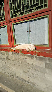 晒太阳的大白猫