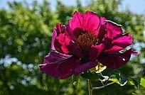 艳丽的芍药花