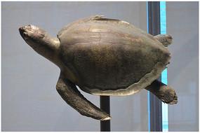 巴西龟标本