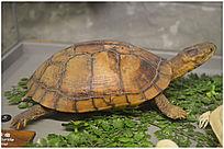 巴西水龟标本