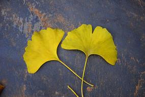 放在灰色地面上黄色银杏叶