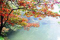 深秋湖上的红色枫树枫叶