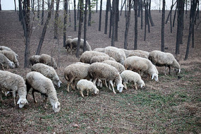 一群正在吃草的羊