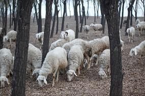 正吃草的羊