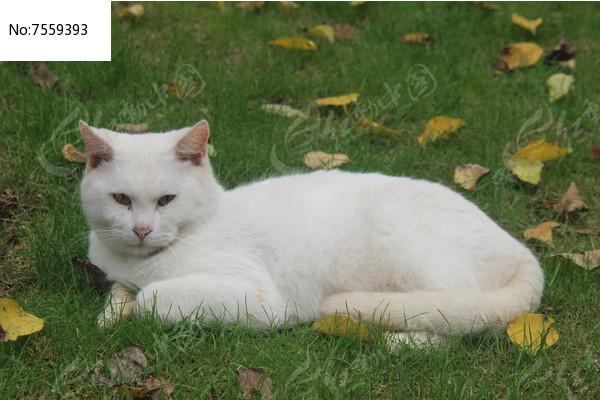 白猫图片,高清大图_陆地动物素材