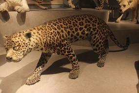 豹动物标本