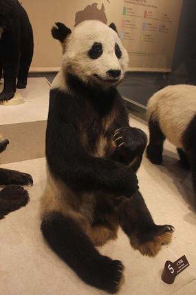 大熊猫动物标本