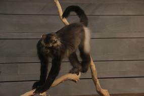 黑冠长臂猿动物标本