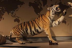 虎动物标本