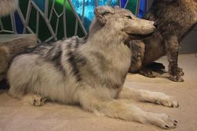 狼动物标本
