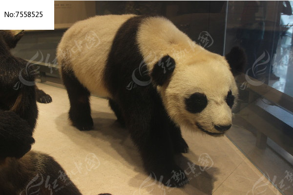 猫熊动物标本图片,高清大图_陆地动物素材
