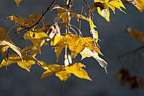 逆光中金黄色的枫叶