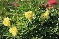 漂亮的黄牡丹