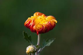 一朵大红色的菊花