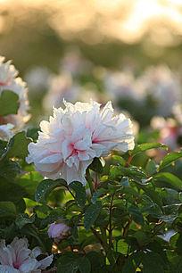 一朵粉白牡丹花