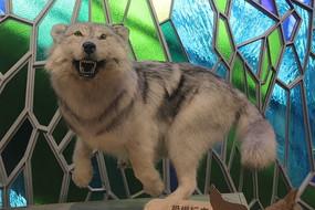 幼狼动物标本