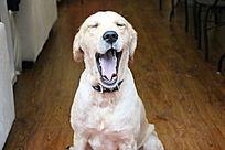 白色宠物狗