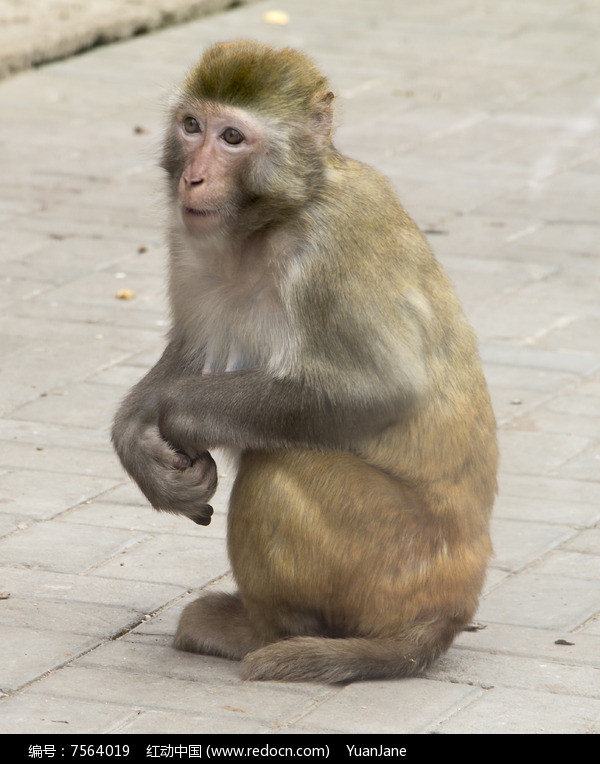 原创摄影图 动物植物 陆地动物 猴子  请您分享: 红动网提供陆地动物