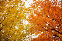 黄色和桔色枫树