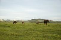 内蒙古大草原的牛群
