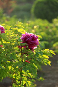 一朵漂亮的粉红牡丹花