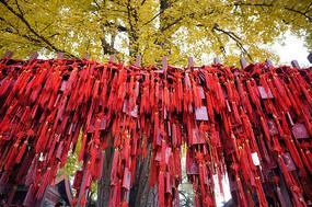 银杏树下的祝福红牌