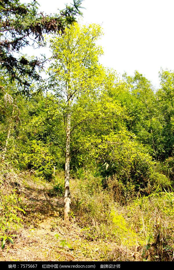 原创摄影图 动物植物 树木枝叶 八角树  请您分享: 红动网提供树木