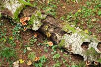 长白山野生蘑菇