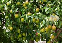 长满梨子的果树