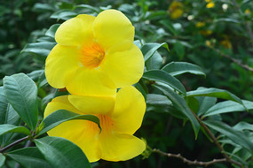 两朵软枝黄蝉