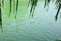 柳叶和水面高清图