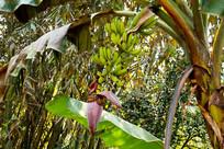 香蕉树特写