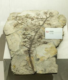 高氏金钱松化石