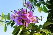 娇艳的紫薇花