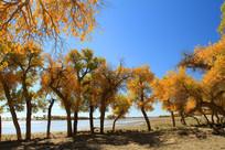 河畔金色的胡杨林