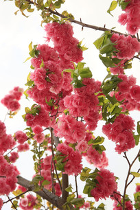 盛开的粉色樱花