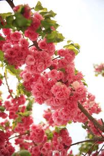 盛开的枝头樱花