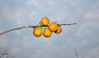 野生的柿子摄影图片