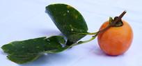 野生柿子特写图片