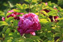 带露水的粉红牡丹