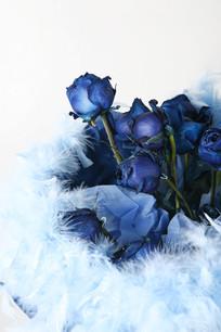 带羽毛的蓝色妖姬
