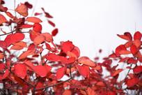 大自然红叶景观摄影