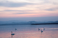 湖面上优雅自在的天鹅